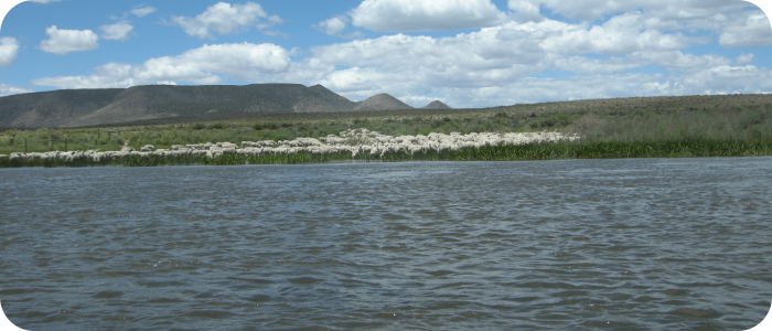 Rio-Grande-below-Alamosa-CO-Sheep-6-27-14