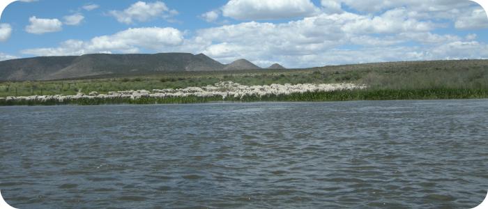 Rio-Grande-below-Alamosa-CO-Sheep-6-27-14